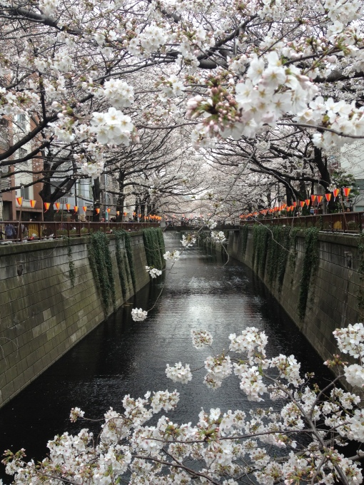 The sakura has arrived to Nakameguro in 2013 (Photo by Naomi Hatta)